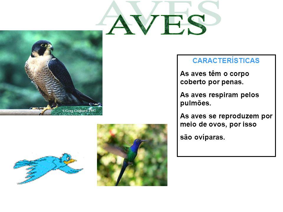 CARACTERÍSTICAS As aves têm o corpo coberto por penas. As aves respiram pelos pulmões. As aves se reproduzem por meio de ovos, por isso são ovíparas.