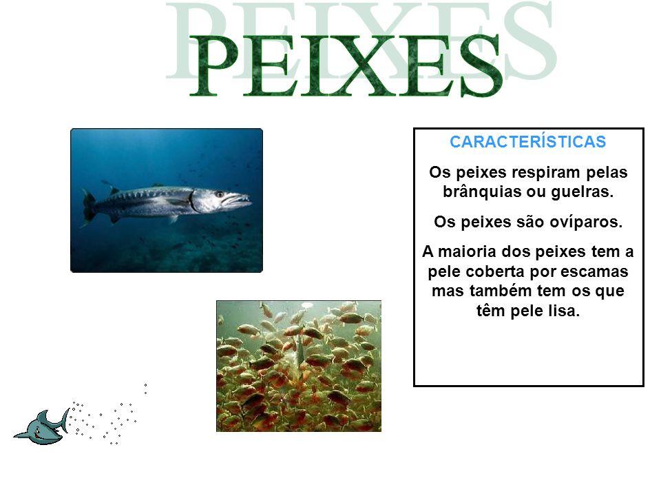 CARACTERÍSTICAS Os peixes respiram pelas brânquias ou guelras. Os peixes são ovíparos. A maioria dos peixes tem a pele coberta por escamas mas também