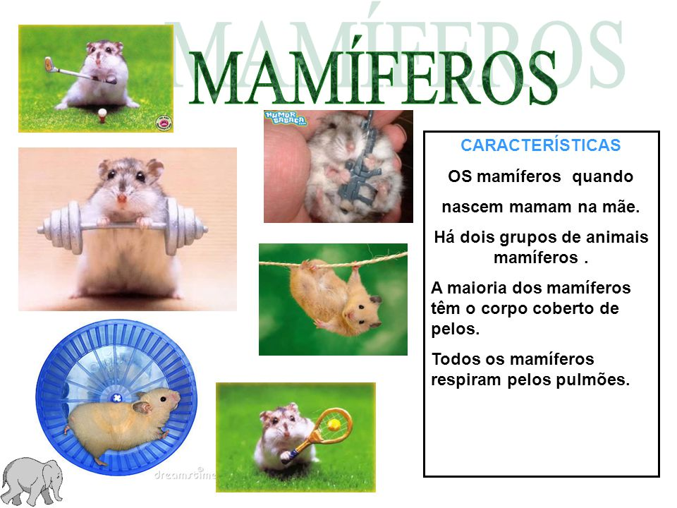 CARACTERÍSTICAS OS mamíferos quando nascem mamam na mãe. Há dois grupos de animais mamíferos. A maioria dos mamíferos têm o corpo coberto de pelos. To