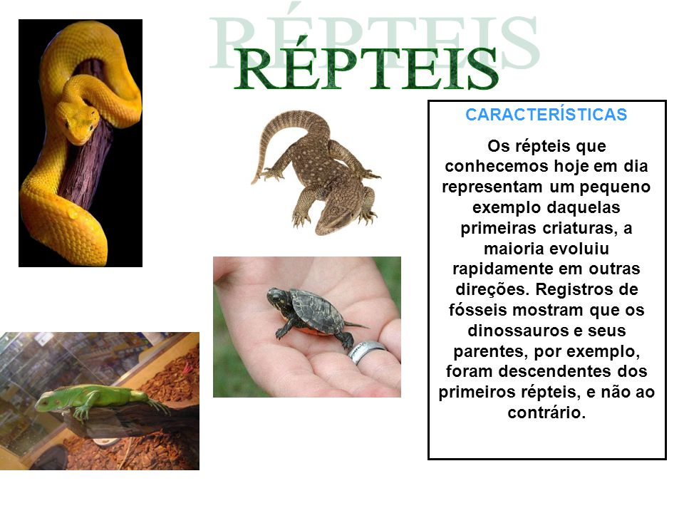 CARACTERÍSTICAS Os répteis que conhecemos hoje em dia representam um pequeno exemplo daquelas primeiras criaturas, a maioria evoluiu rapidamente em outras direções.