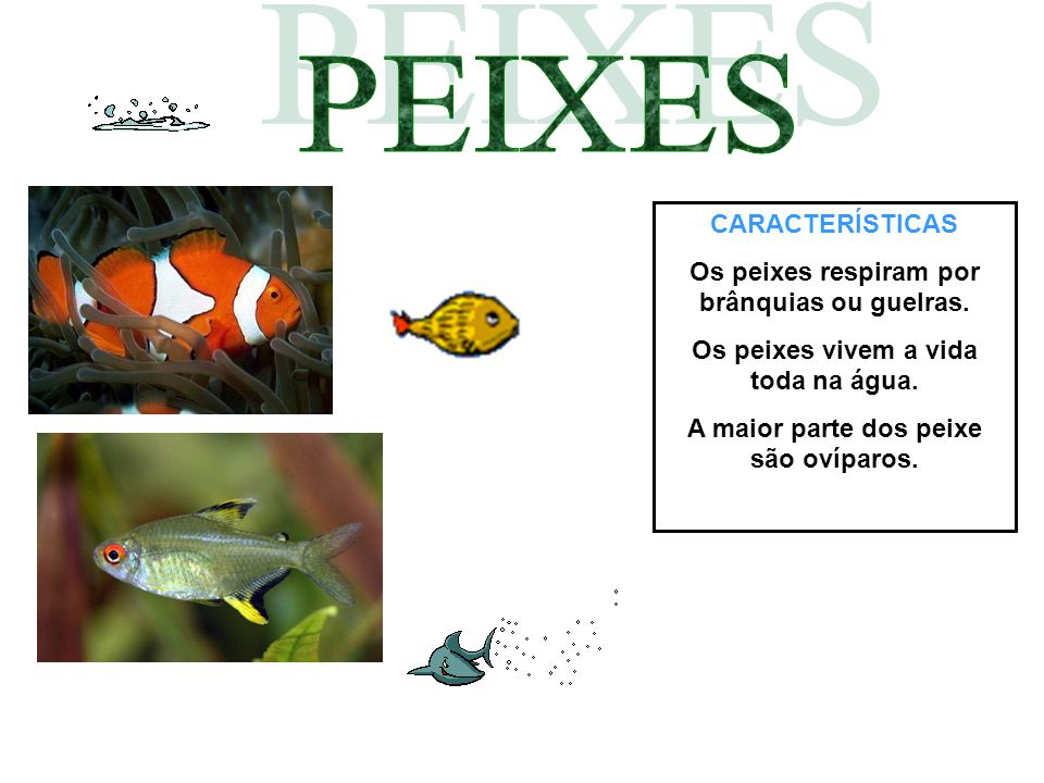 CARACTERÍSTICAS Os peixes respiram por brânquias ou guelras. Os peixes vivem a vida toda na água. A maior parte dos peixe são ovíparos.