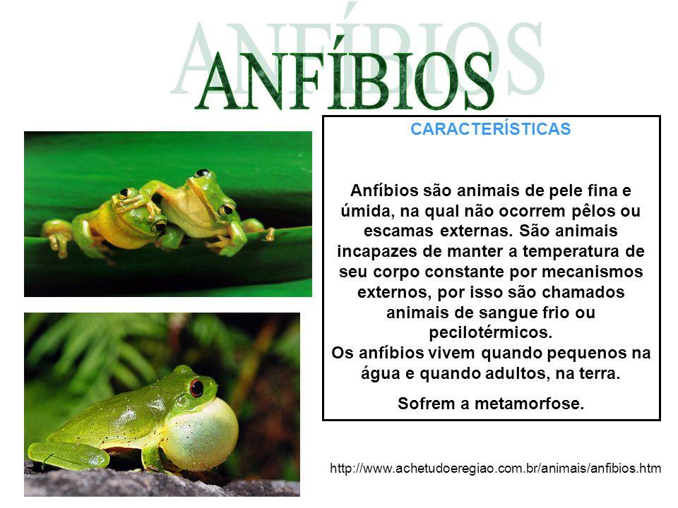 CARACTERÍSTICAS Anfíbios são animais de pele fina e úmida, na qual não ocorrem pêlos ou escamas externas. São animais incapazes de manter a temperatur