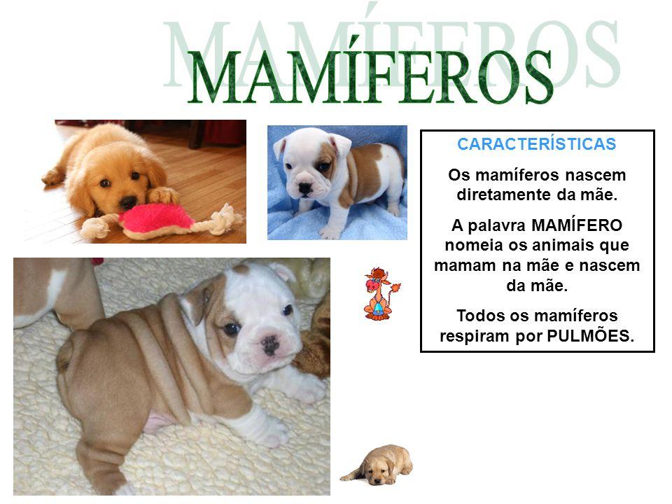 CARACTERÍSTICAS Os mamíferos nascem diretamente da mãe. A palavra MAMÍFERO nomeia os animais que mamam na mãe e nascem da mãe. Todos os mamíferos resp