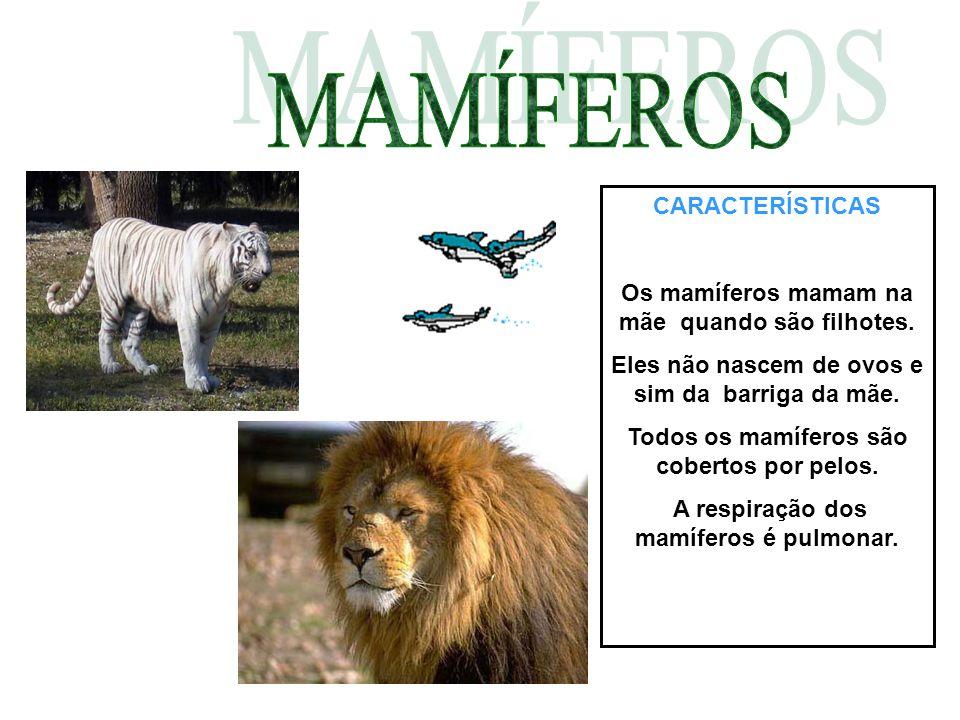 CARACTERÍSTICAS Os mamíferos mamam na mãe quando são filhotes. Eles não nascem de ovos e sim da barriga da mãe. Todos os mamíferos são cobertos por pe