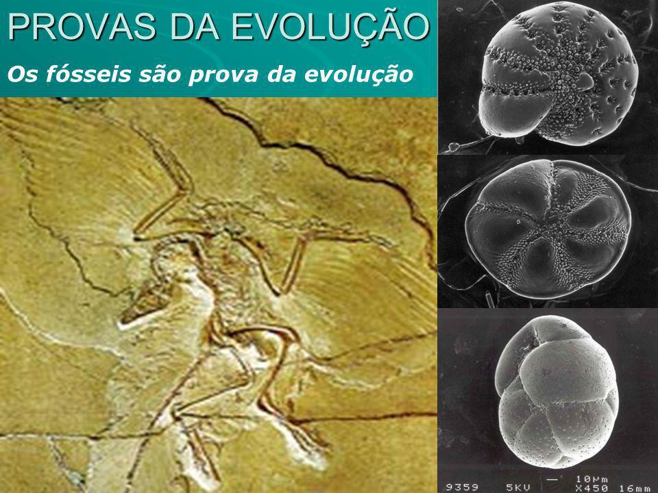 PROVAS DA EVOLUÇÃO Os fósseis são prova da evolução