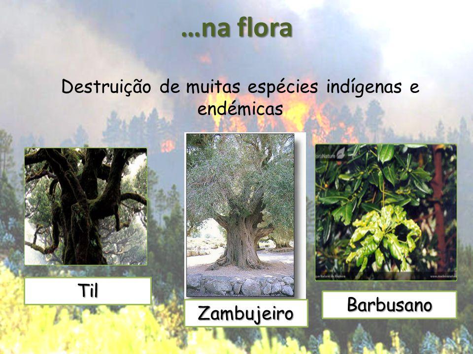 …na flora Destruição de muitas espécies indígenas e endémicas Til Barbusano Zambujeiro