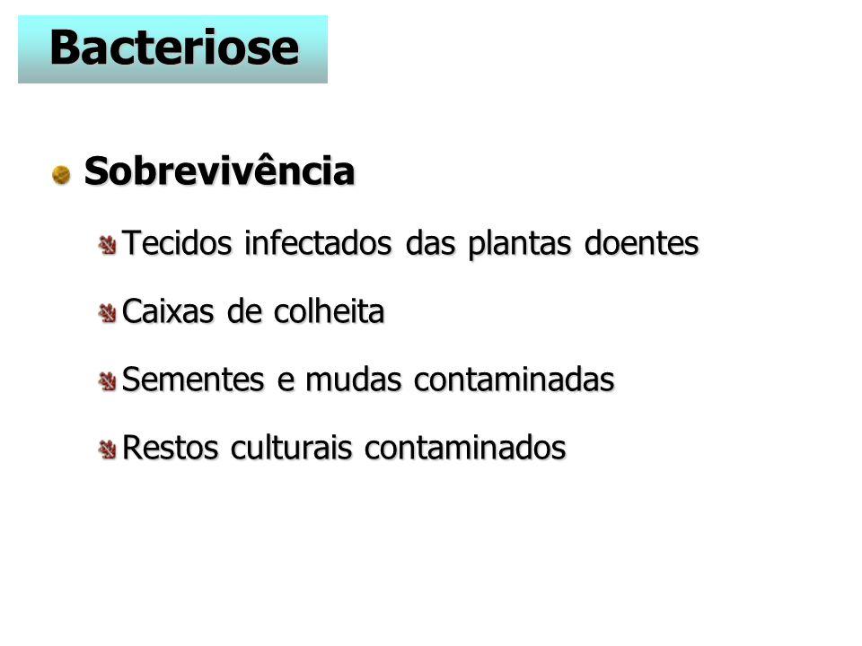 Sobrevivência Tecidos infectados das plantas doentes Caixas de colheita Sementes e mudas contaminadas Restos culturais contaminados Bacteriose