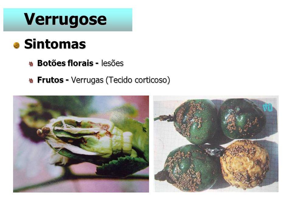 Sintomas Botões florais - lesões Frutos - Verrugas (Tecido corticoso) Verrugose