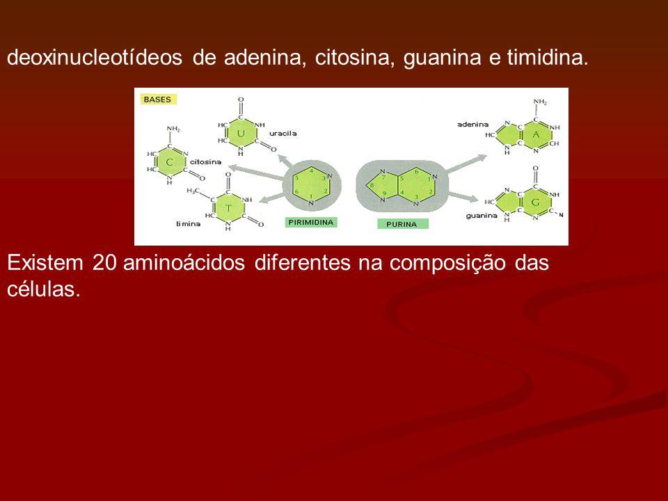 deoxinucleotídeos de adenina, citosina, guanina e timidina. Existem 20 aminoácidos diferentes na composição das células.
