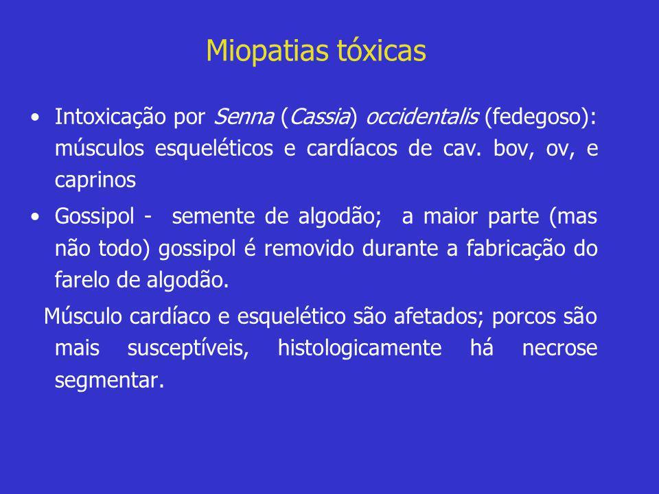 Miopatias tóxicas •Intoxicação por Senna (Cassia) occidentalis (fedegoso): músculos esqueléticos e cardíacos de cav. bov, ov, e caprinos •Gossipol - s
