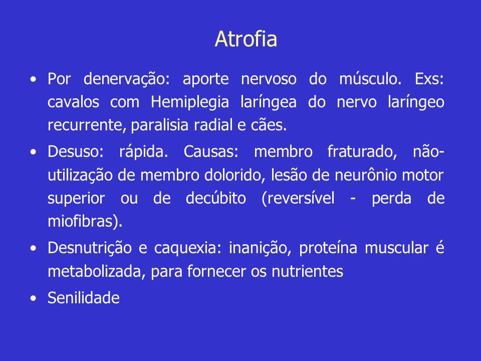 Atrofia •Por denervação: aporte nervoso do músculo. Exs: cavalos com Hemiplegia laríngea do nervo laríngeo recurrente, paralisia radial e cães. •Desus