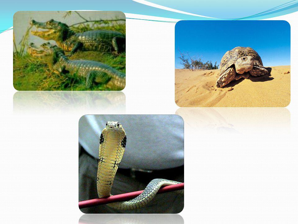 As cobras podem ser classificadas em:  Áglifa: serpentes sem aparelho inoculador de peçonha.