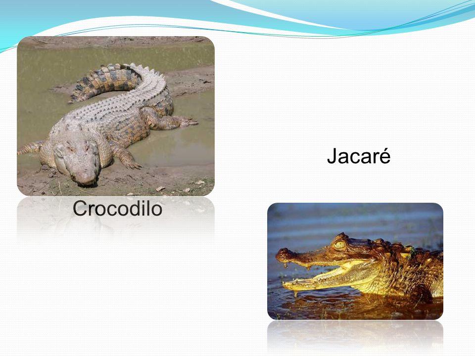 Crocodilo Jacaré