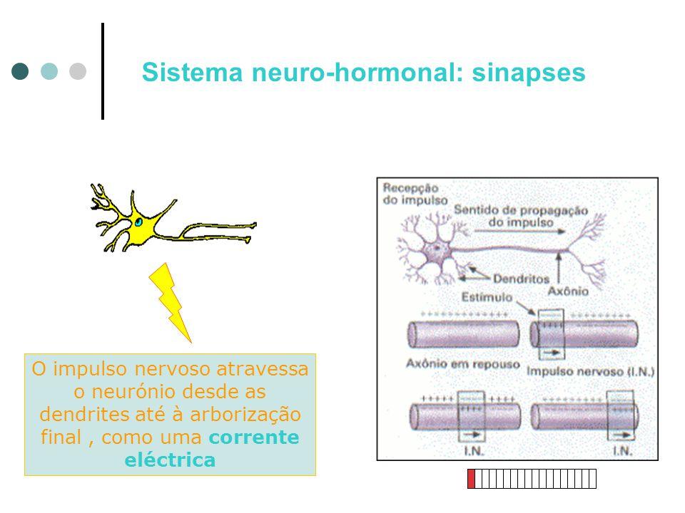 O impulso nervoso atravessa o neurónio desde as dendrites até à arborização final, como uma corrente eléctrica