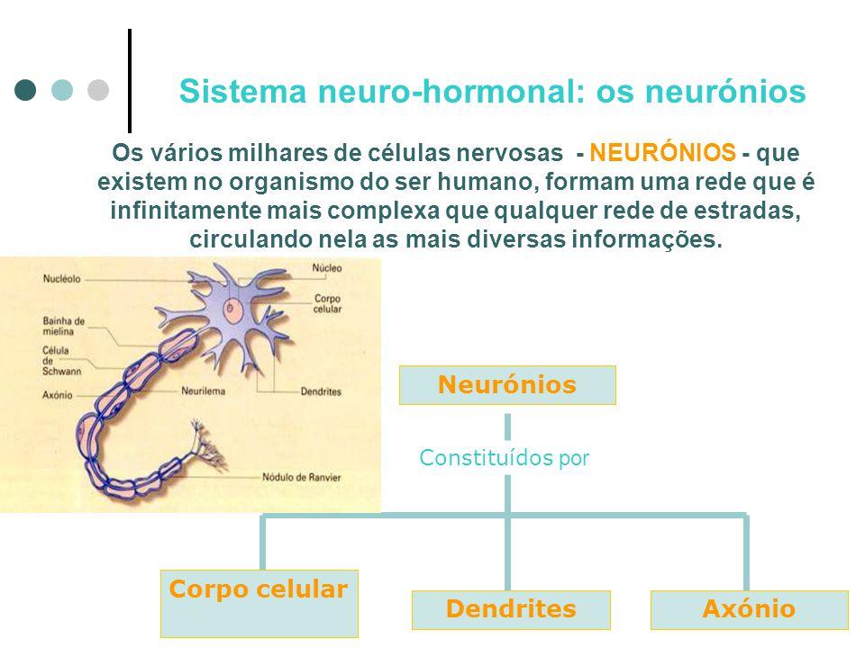 Sistema neuro-hormonal : tipos de neurónios Conforme a sua função, existem neurónios sensitivos, neurónios motores e neurónios de associação.