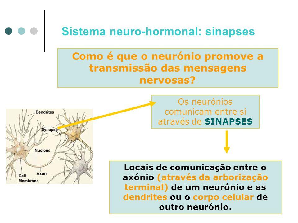 Sistema neuro-hormonal: sinapses Como é que o neurónio promove a transmissão das mensagens nervosas? Os neurónios comunicam entre si através de SINAPS
