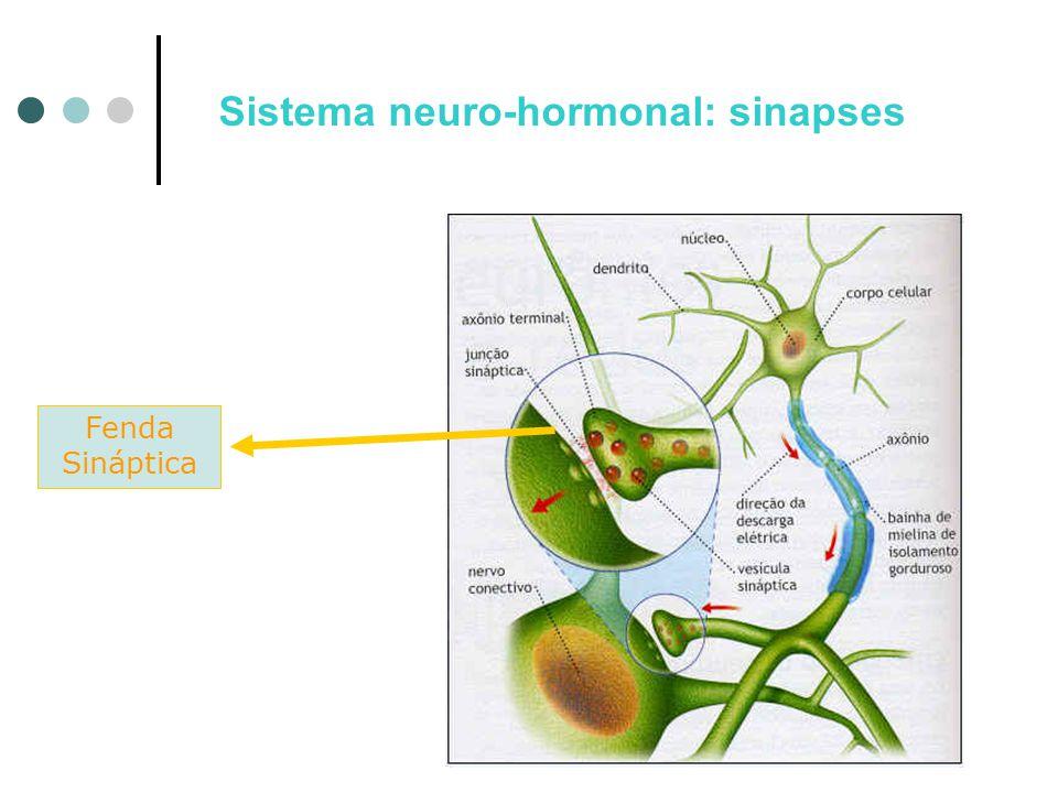 Fenda Sináptica Sistema neuro-hormonal: sinapses