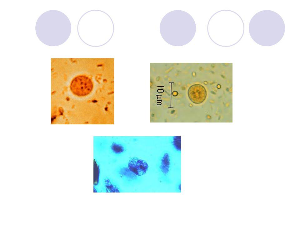 Blastocystis hominis  Alexeief: 1911;  Era considerado como levedura ;  Diarréia, constipação, fraqueza (patogênico?);  Trofozoíto: 10 – 15  m, com vacúolo central que separa os dois núcleos;  Cistos: 4 – 10  m, com vacúolo e dois núcleos;  Vive no intestino grosso.
