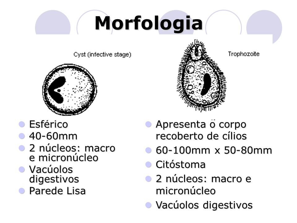 Morfologia  Esférico  40-60mm  2 núcleos: macro e micronúcleo  Vacúolos digestivos  Parede Lisa  Apresenta o corpo recoberto de cílios  60-100m