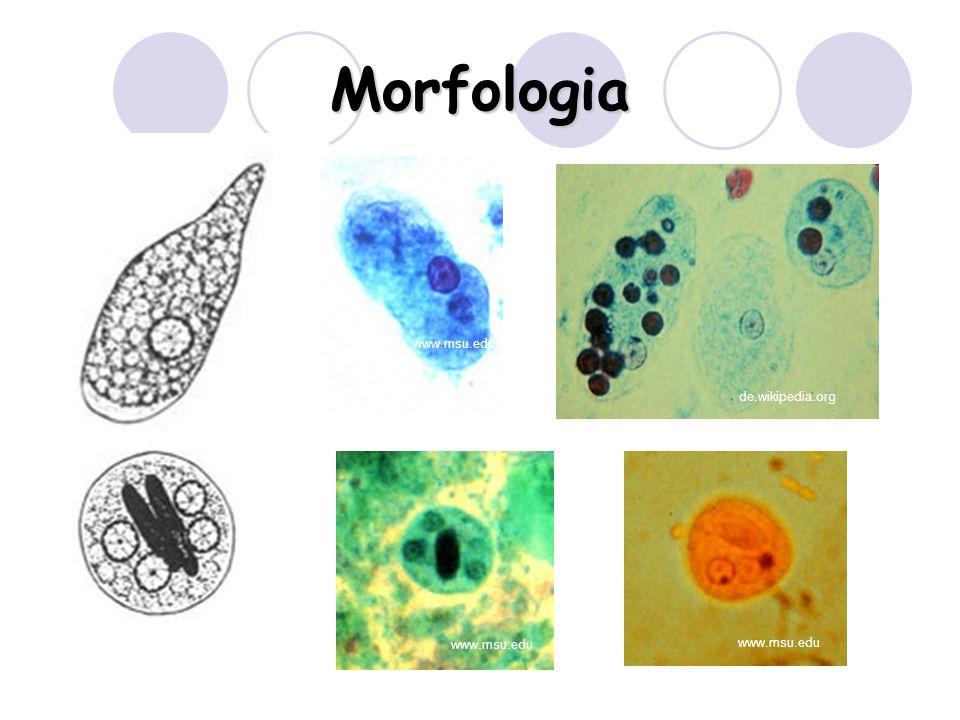 Morfologia de.wikipedia.org www.msu.edu