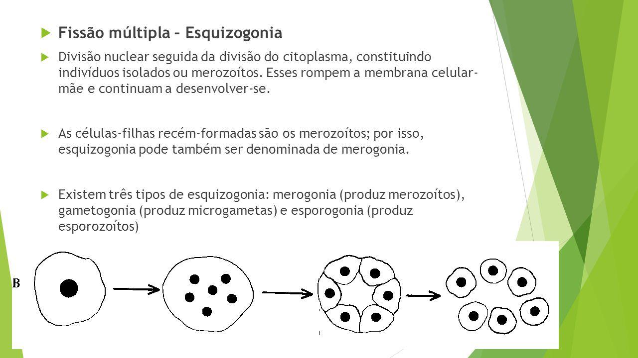  Fissão múltipla – Esquizogonia  Divisão nuclear seguida da divisão do citoplasma, constituindo indivíduos isolados ou merozoítos. Esses rompem a me