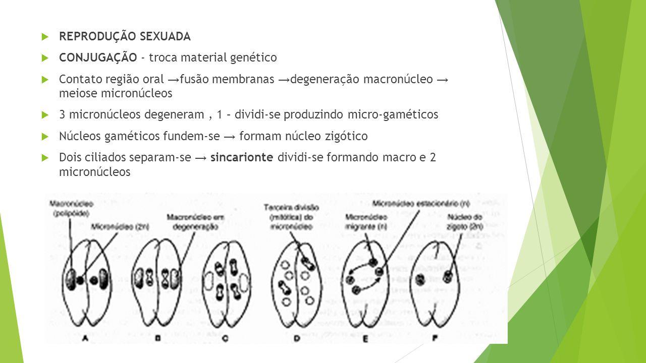  REPRODUÇÃO SEXUADA  CONJUGAÇÃO - troca material genético  Contato região oral → fusão membranas → degeneração macronúcleo → meiose micronúcleos  3 micronúcleos degeneram, 1 – dividi-se produzindo micro-gaméticos  Núcleos gaméticos fundem-se → formam núcleo zigótico  Dois ciliados separam-se → sincarionte dividi-se formando macro e 2 micronúcleos