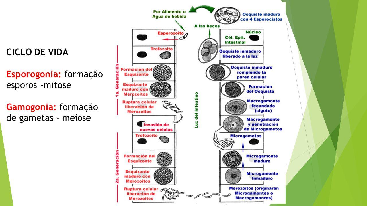 CICLO DE VIDA Esporogonia: formação esporos -mitose Gamogonia: formação de gametas - meiose