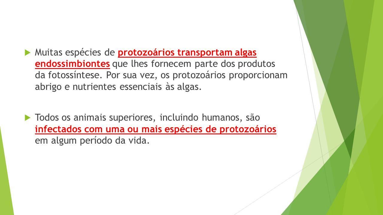  Muitas espécies de protozoários transportam algas endossimbiontes que lhes fornecem parte dos produtos da fotossíntese. Por sua vez, os protozoários