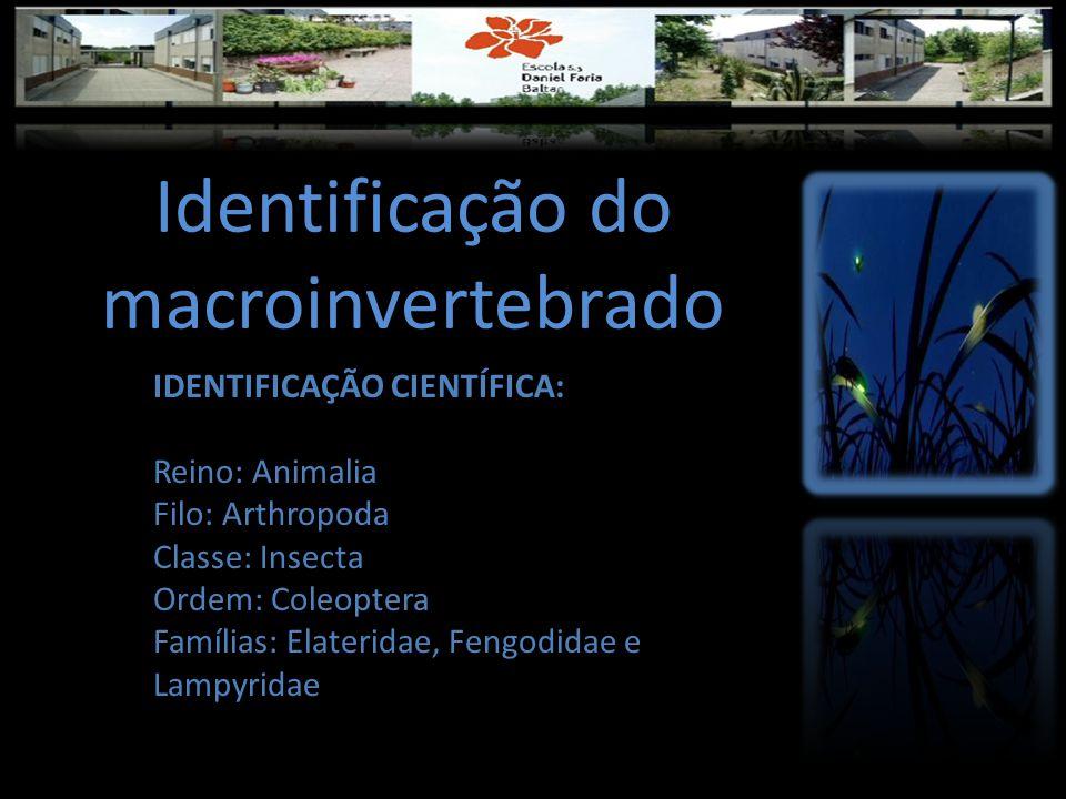 Identificação do macroinvertebrado IDENTIFICAÇÃO CIENTÍFICA: Reino: Animalia Filo: Arthropoda Classe: Insecta Ordem: Coleoptera Famílias: Elateridae, Fengodidae e Lampyridae
