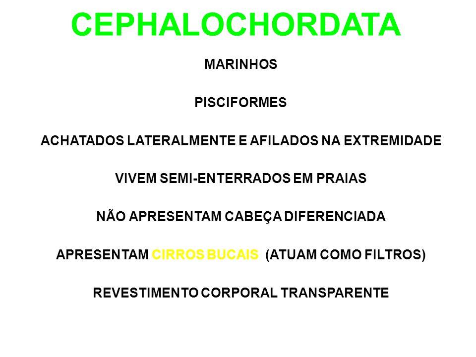 CEPHALOCHORDATA MARINHOS PISCIFORMES ACHATADOS LATERALMENTE E AFILADOS NA EXTREMIDADE VIVEM SEMI-ENTERRADOS EM PRAIAS NÃO APRESENTAM CABEÇA DIFERENCIADA APRESENTAM CIRROS BUCAIS (ATUAM COMO FILTROS) REVESTIMENTO CORPORAL TRANSPARENTE