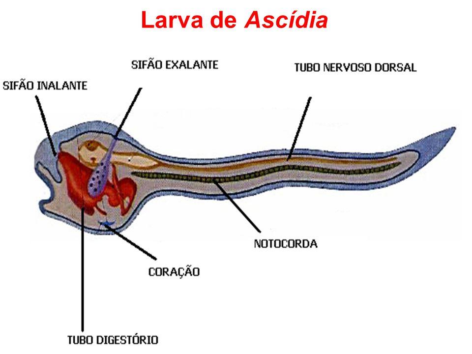 Larva de Ascídia
