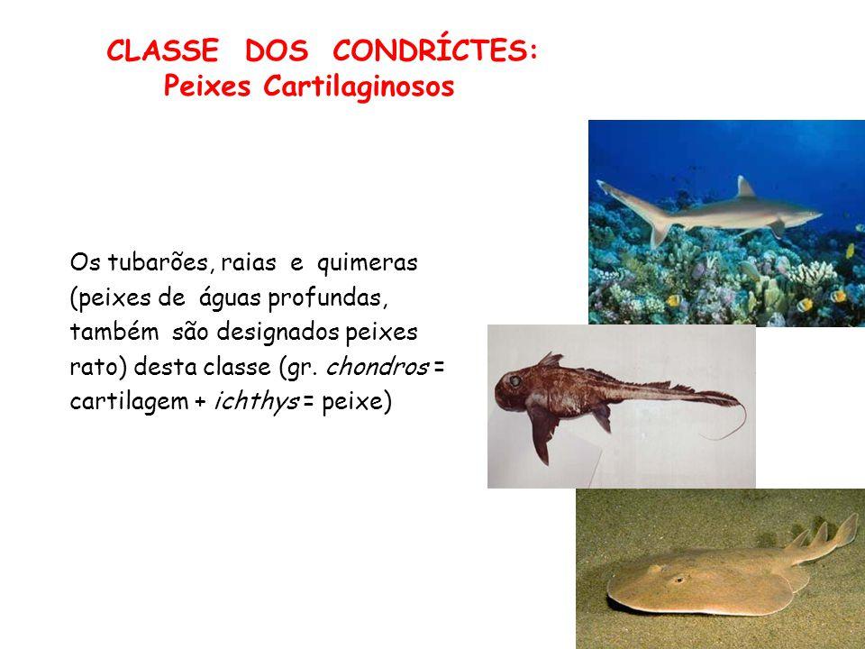 CLASSE DOS CONDRÍCTES: Peixes Cartilaginosos Os tubarões, raias e quimeras (peixes de águas profundas, também são designados peixes rato) desta classe (gr.