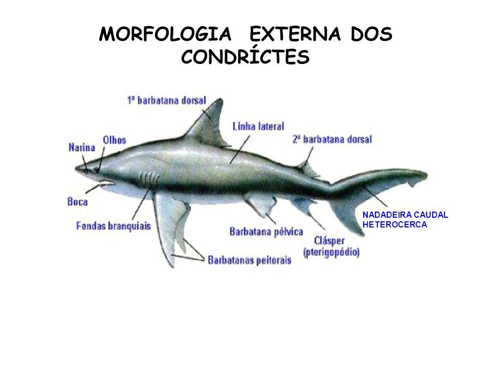 MORFOLOGIA EXTERNA DOS CONDRÍCTES NADADEIRA CAUDAL HETEROCERCA