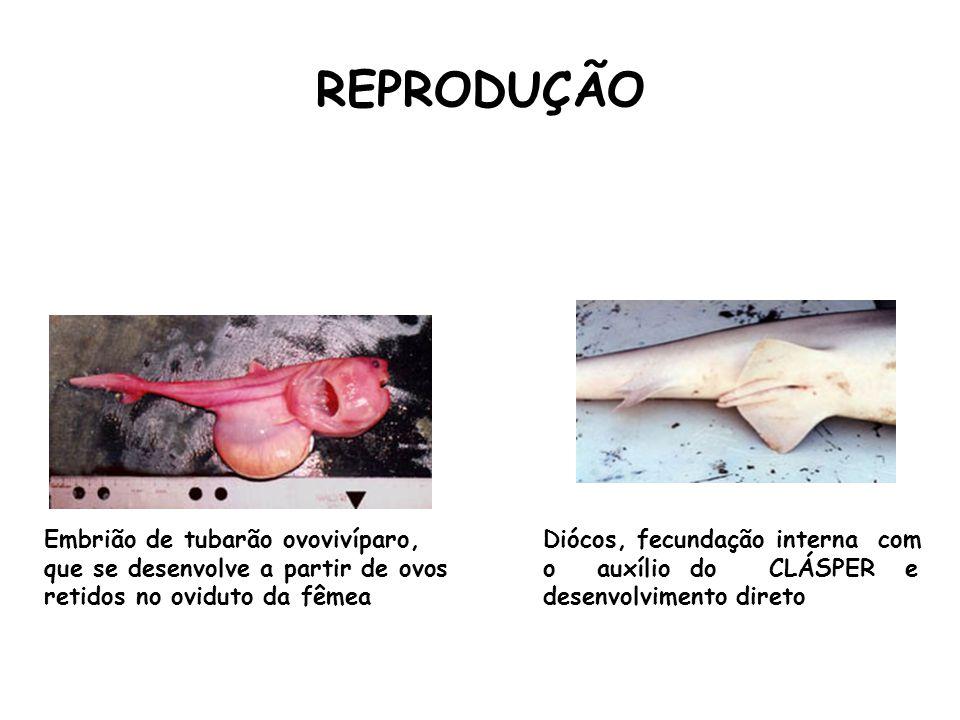 REPRODUÇÃO Embrião de tubarão ovovivíparo, que se desenvolve a partir de ovos retidos no oviduto da fêmea Diócos, fecundação interna com o auxílio do CLÁSPER e desenvolvimento direto