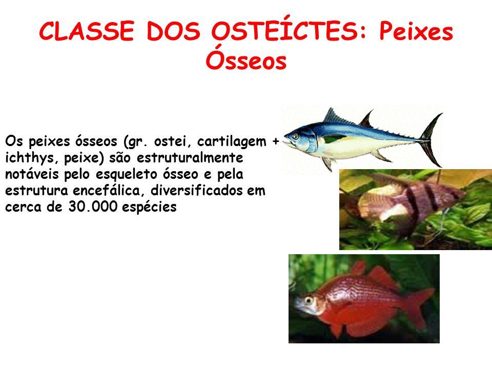 CLASSE DOS OSTEÍCTES: Peixes Ósseos Os peixes ósseos (gr.
