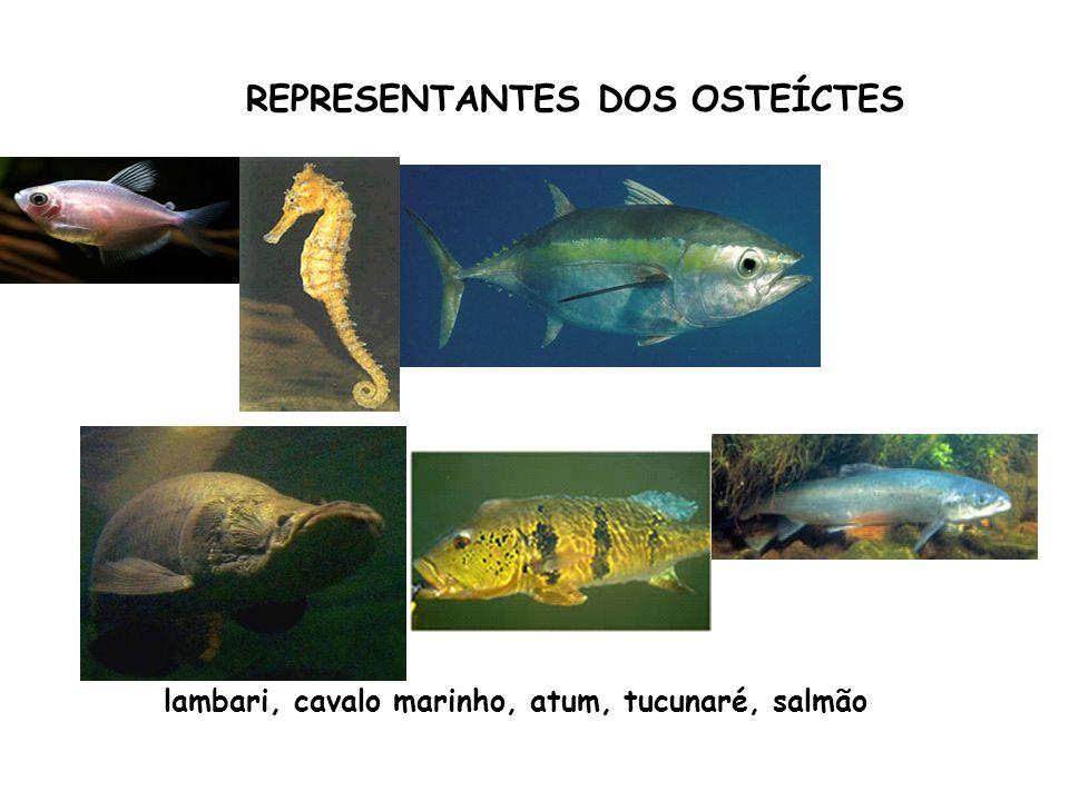 REPRESENTANTES DOS OSTEÍCTES lambari, cavalo marinho, atum, tucunaré, salmão