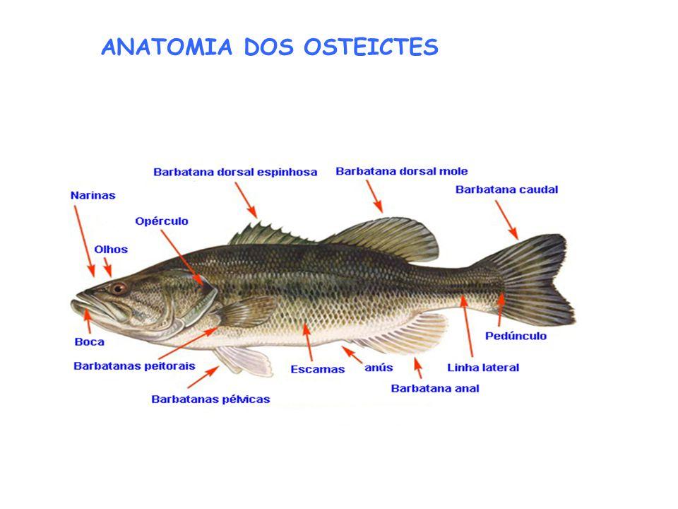 ANATOMIA DOS OSTEICTES