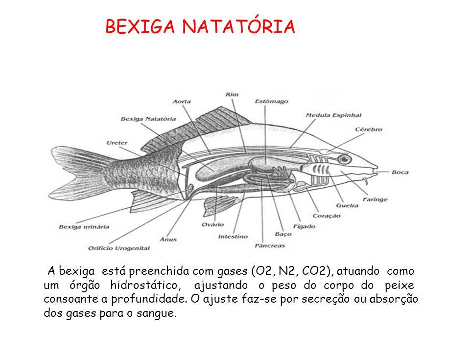A bexiga está preenchida com gases (O2, N2, CO2), atuando como um órgão hidrostático, ajustando o peso do corpo do peixe consoante a profundidade.