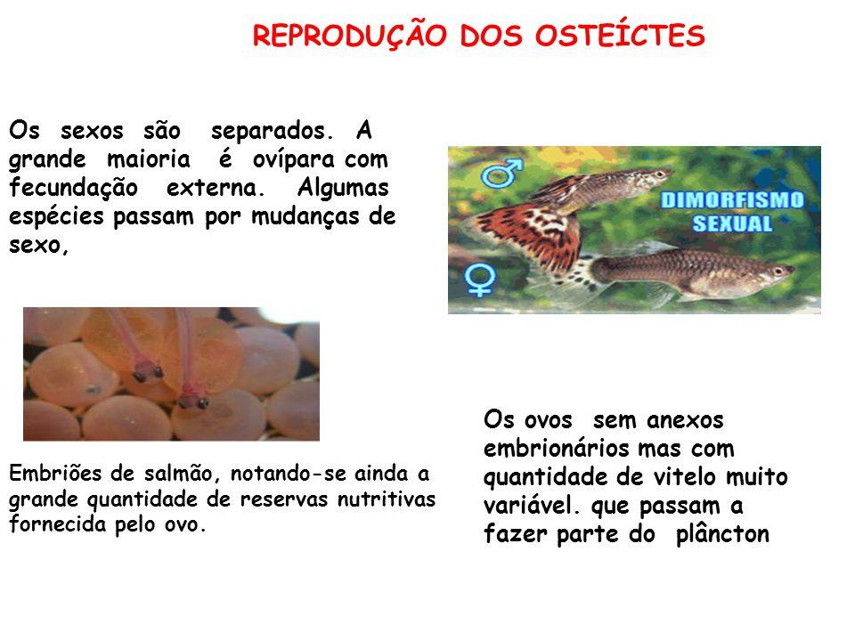 REPRODUÇÃO DOS OSTEÍCTES Embriões de salmão, notando-se ainda a grande quantidade de reservas nutritivas fornecida pelo ovo.