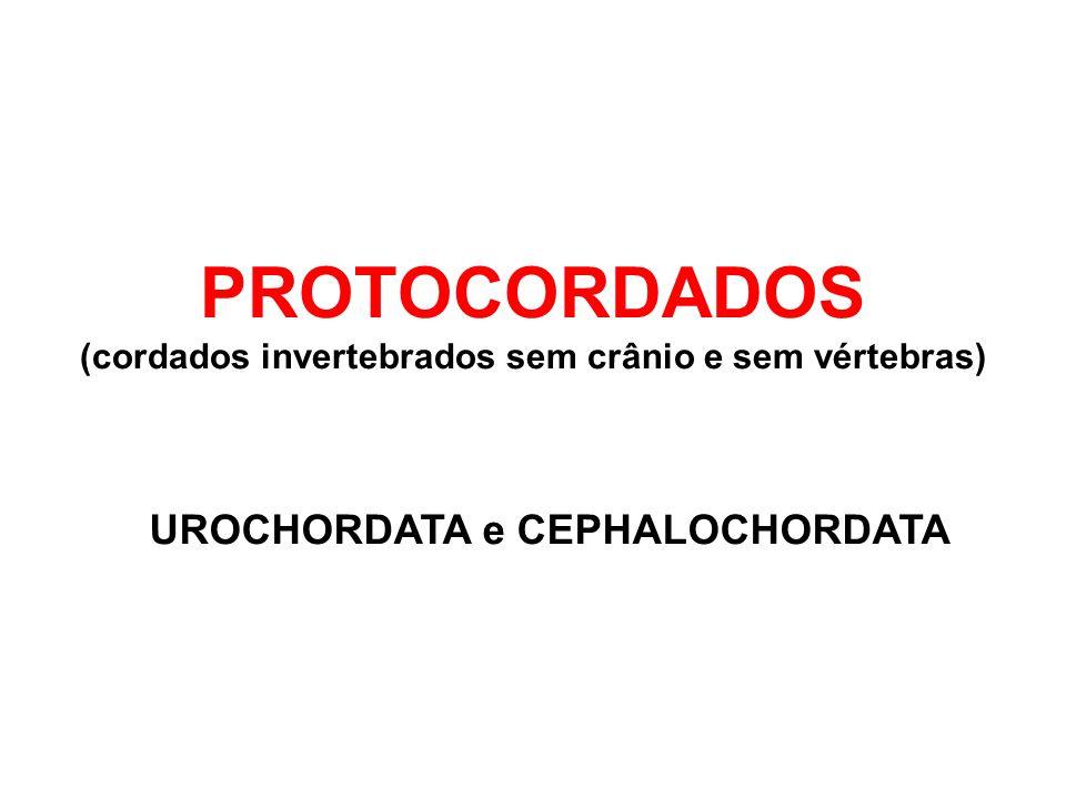 PROTOCORDADOS (cordados invertebrados sem crânio e sem vértebras) UROCHORDATA e CEPHALOCHORDATA