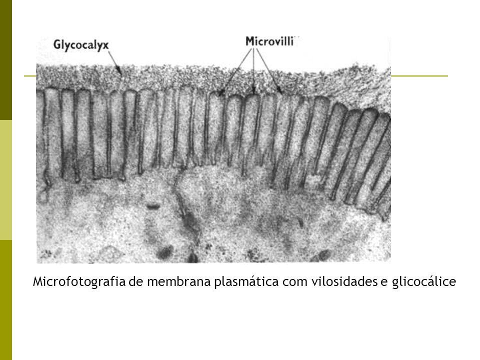 Microfotografia de membrana plasmática com vilosidades e glicocálice