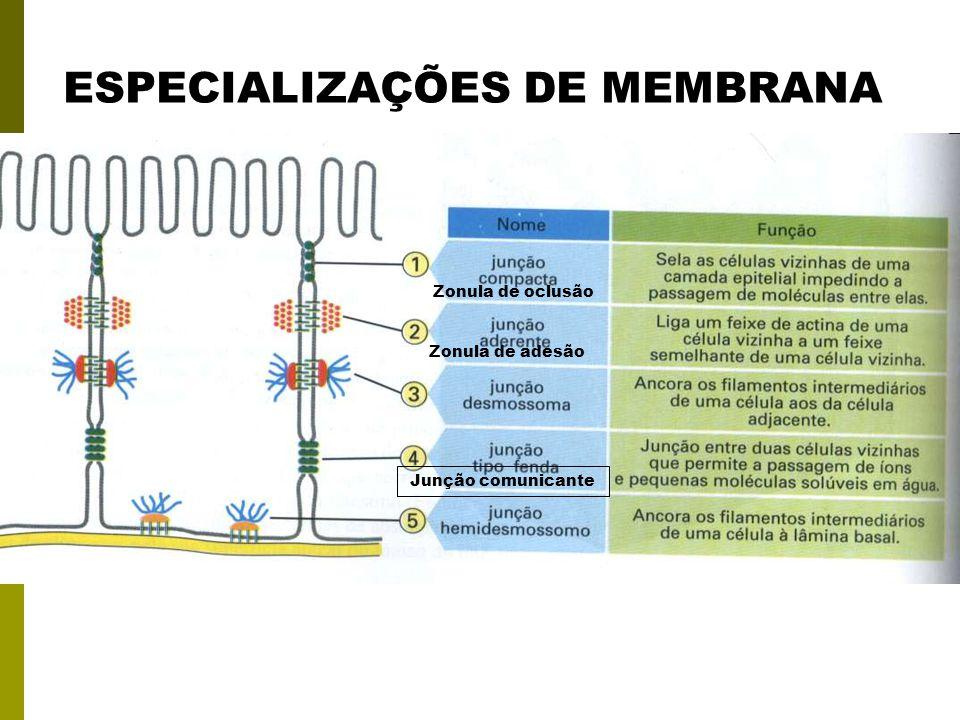 ESPECIALIZAÇÕES DE MEMBRANA Zonula de oclusão Zonula de adesão Junção comunicante