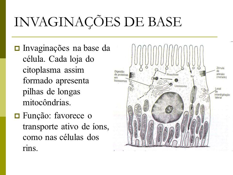 INVAGINAÇÕES DE BASE  Invaginações na base da célula.