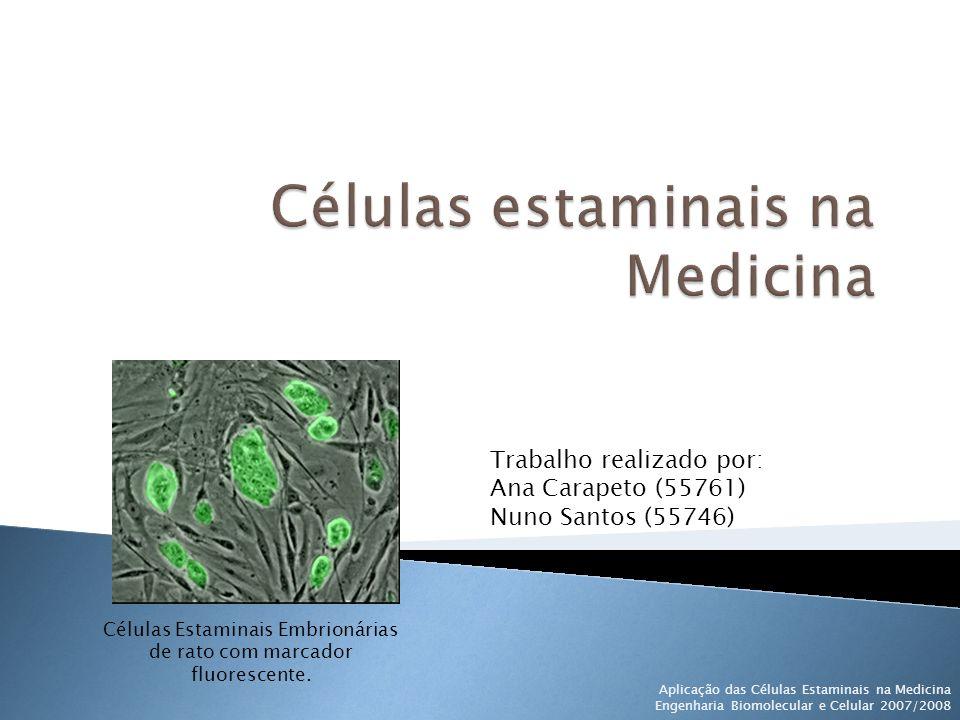 Células Estaminais Embrionárias de rato com marcador fluorescente.