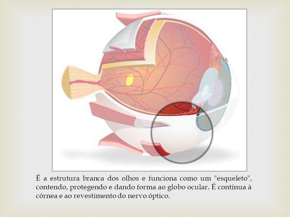 É a estrutura branca dos olhos e funciona como um
