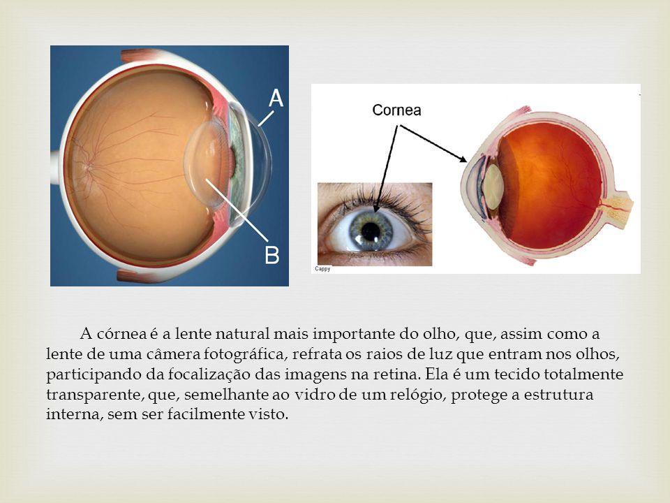 A córnea é a lente natural mais importante do olho, que, assim como a lente de uma câmera fotográfica, refrata os raios de luz que entram nos olhos, p