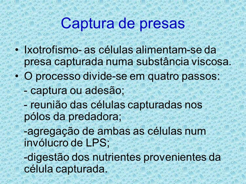 Captura de presas •Ixotrofismo- as células alimentam-se da presa capturada numa substância viscosa. •O processo divide-se em quatro passos: - captura