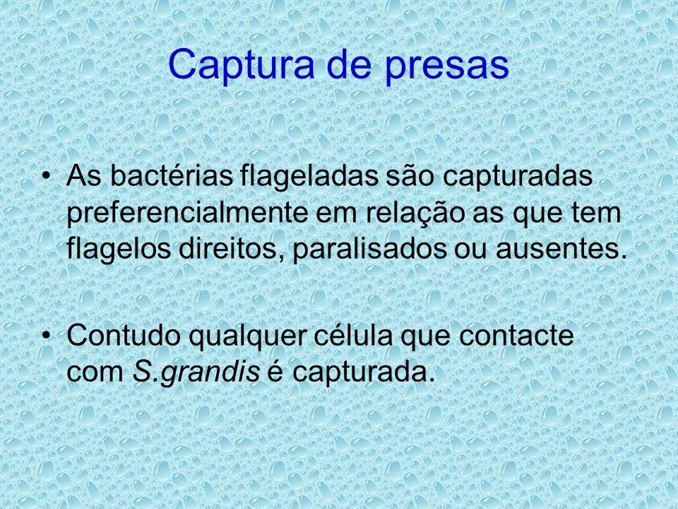 Captura de presas •As bactérias flageladas são capturadas preferencialmente em relação as que tem flagelos direitos, paralisados ou ausentes. •Contudo