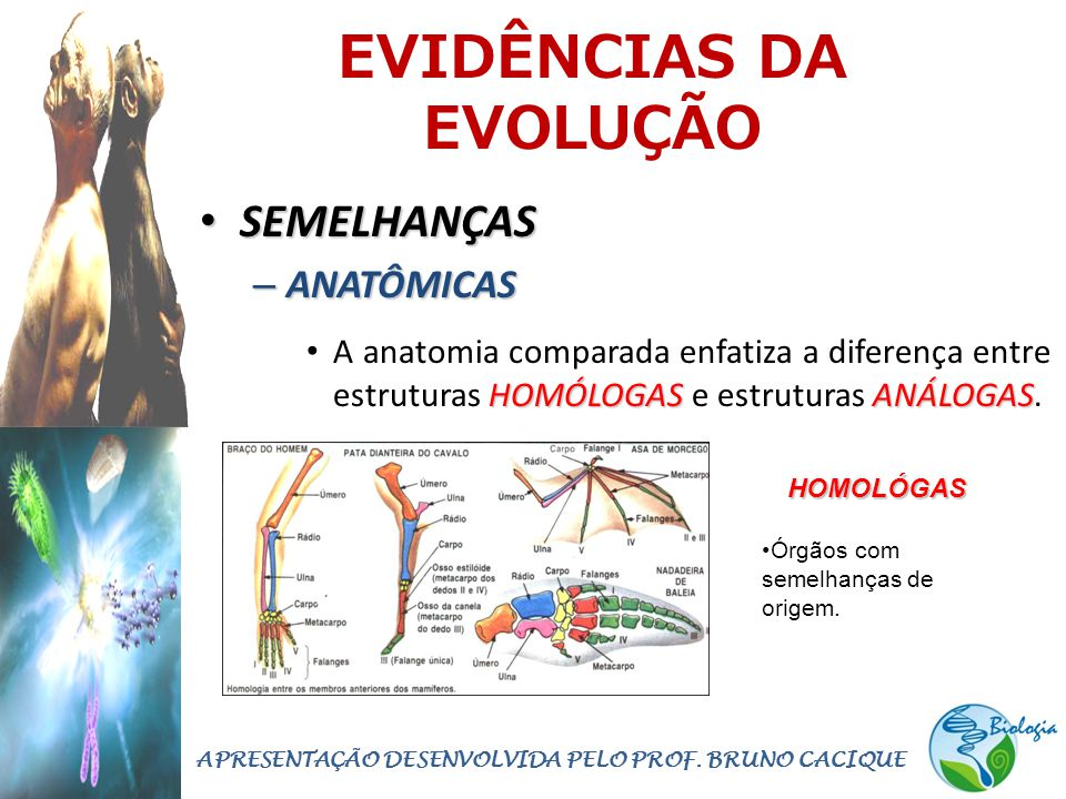 EVIDÊNCIAS DA EVOLUÇÃO • SEMELHANÇAS – ANATÔMICAS HOMÓLOGASANÁLOGAS • A anatomia comparada enfatiza a diferença entre estruturas HOMÓLOGAS e estrutura