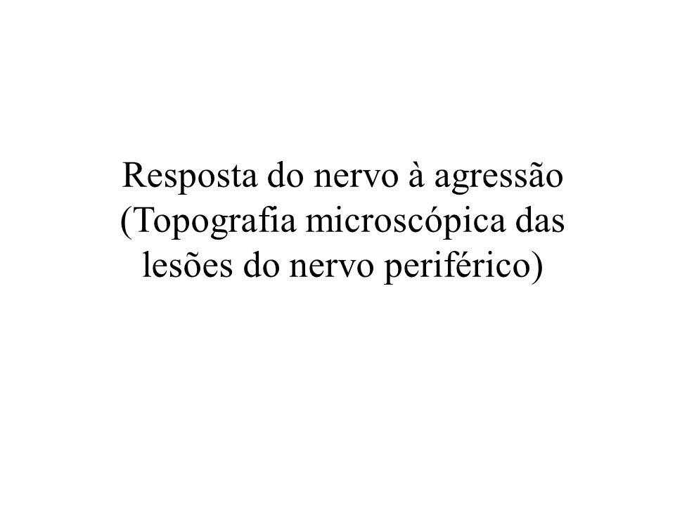 Resposta do nervo à agressão (Topografia microscópica das lesões do nervo periférico)